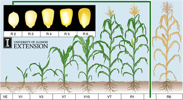 Corn Growth Stages Odell S World